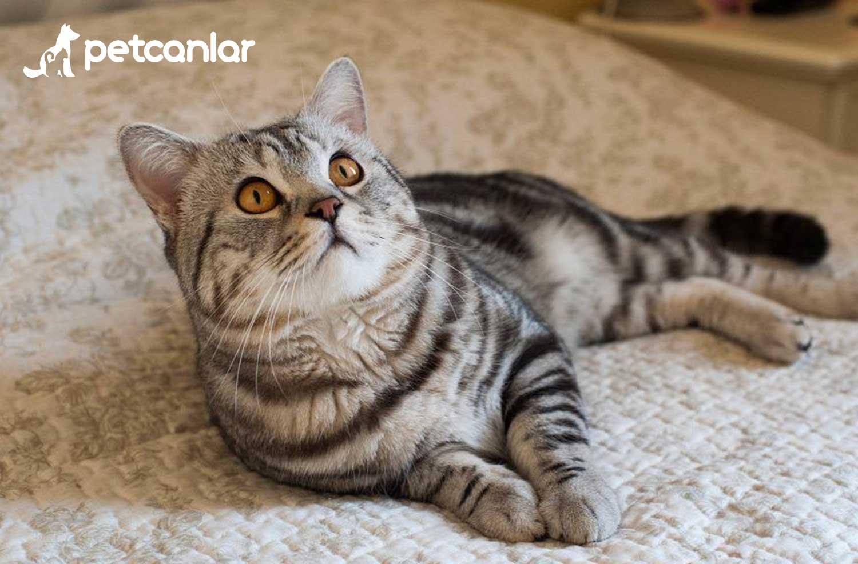 İlk Göçmen Kedi: American Shorthair